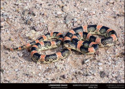 Rhinocheilus-lecontei_O4A4210170409