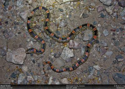 rhinocheilus-lecontei-042708