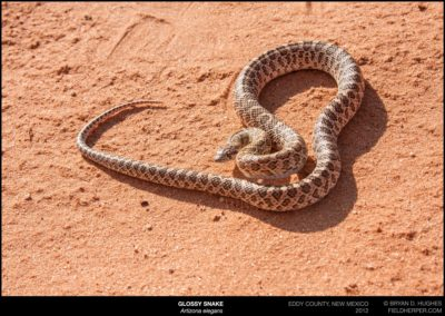 Arizona-elegans-20120825_3460