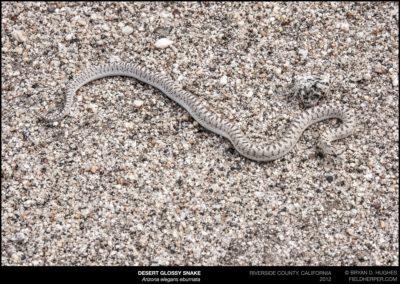 Arizona-elegans-eburnata-1492
