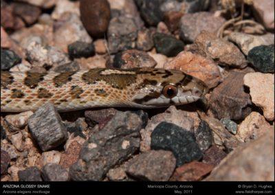 Arizona-elegans-noctivaga