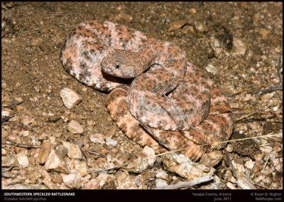 Crotalus-mitchelli-pyrrhus-1-0611