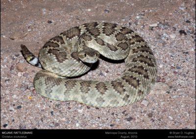 Crotalus-scutulatus-082710