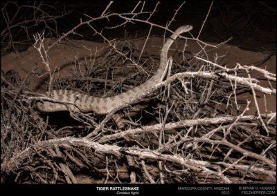 Crotalus-tigris-0919