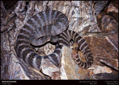 Crotalus-tigris-1-052012