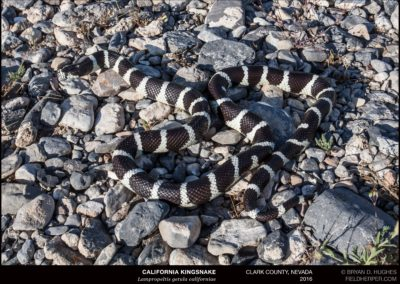 Lampropeltis-getula-californiae_3689160605