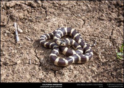 Lampropeltis-getula-californiae_9470160313