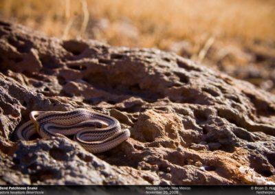 S-hexalepis-deserticola