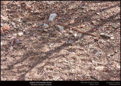 Salvadora-hexalepis-hexalepis-030213