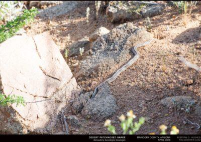 Salvadora-hexalepis-hexalepis-20150404_1545