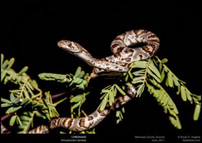 Trimorphodon-lambda-053111